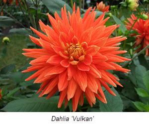 Dahlia_'Vulkan'